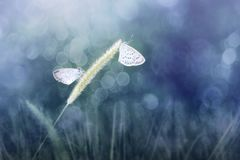 Otis de Zizina de deux papillons Lesser Grass Blue indica sur l'herbe blady Photos libres de droits