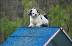 Otis on A-frame. Shih-Tzu pauses atop agility A-frame stock photos