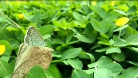 Otis indica/Lesser Grass Blue van vlinderzizina zit op het bruine droge blad met groene achtergrond stock video