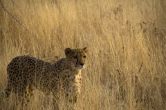 Otjitotongwe, cheetah lodge Royalty Free Stock Images