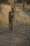 Otjitotongwe, cheetah lodge Stock Image