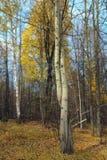 Otoño Árbol Foto de archivo libre de regalías