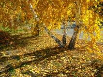 Otoño. Abedules de oro Foto de archivo libre de regalías