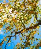 Otoño antiguo amarillo, el fondo más orest del árbol de abedul Fotografía de archivo