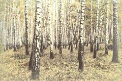 Otoño Arboleda del abedul Fondo del bosque del abedul Fotografía de archivo