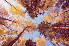 Otoño ascendente del bosque Hojas en fondo del cielo Fotos de archivo libres de regalías