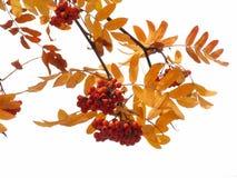 Otoño ashberry Foto de archivo libre de regalías