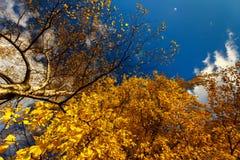 Otoño brillante, soleado con los árboles de abedul de oro cerca del LAK de la ciudad Imágenes de archivo libres de regalías