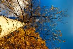 Otoño brillante, soleado con los árboles de abedul de oro cerca del LAK de la ciudad Fotografía de archivo