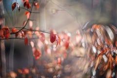Otoño Bush blando rosado de un beresklet en un día soleado Foco selectivo Arte wallpaper Foco selectivo fotos de archivo libres de regalías