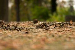 Otoño de la piedra del fondo del cono del pino Foto de archivo libre de regalías