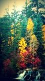 Otoño de los árboles de pino Imagen de archivo libre de regalías