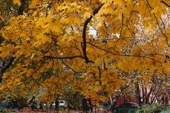Otoño de oro de las hojas de arce Fotografía de archivo libre de regalías