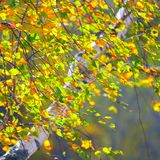 Otoño de oro, fondo del bosque del abedul Foto de archivo libre de regalías