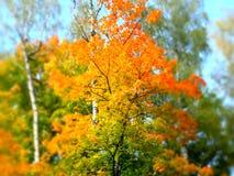 Otoño del abedul Bosque del otoño en el estilo de la miniatura con colores brillantes del follaje del otoño y del cielo azul tran Imagen de archivo