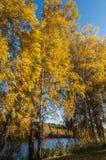 Otoño del bosque del lago birch Imagen de archivo libre de regalías