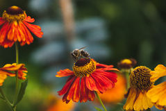 Otoño del Helenium y la abeja Imágenes de archivo libres de regalías