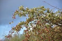 Otoño el día soleado, arbustos con las frutas rojas y nubes pesadas Foto de archivo libre de regalías