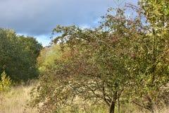 Otoño el día soleado, arbustos con las frutas rojas y nubes pesadas Fotografía de archivo libre de regalías