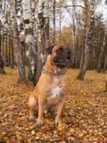 Otoño El retrato en el fondo de caer se va Boerboel surafricano - perros raros de la raza Fotos de archivo