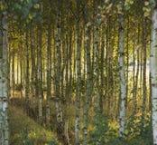 Otoño en bosque del abedul Fotografía de archivo libre de regalías