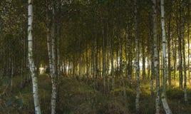 Otoño en bosque del abedul Fotos de archivo libres de regalías