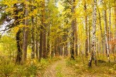 Otoño en bosque del pino y del abedul Imagenes de archivo