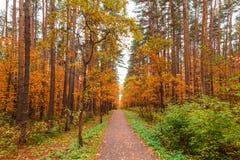 Otoño en bosque del pino y del abedul Foto de archivo libre de regalías