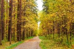 Otoño en bosque del pino y del abedul Fotos de archivo