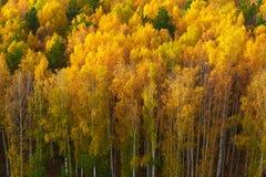Otoño en bosque del pino y del abedul Fotografía de archivo libre de regalías