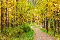 Otoño en bosque del pino y del abedul Fotos de archivo libres de regalías