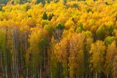 Otoño en bosque del pino y del abedul Imagen de archivo