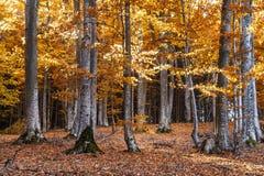 Otoño en el bosque de la haya imagen de archivo