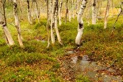 Otoño en el bosque del abedul Foto de archivo