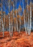 Otoño en el bosque del abedul Fotografía de archivo