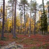 Otoño en el bosque profundo de Taiga, Finlandia Fotos de archivo libres de regalías
