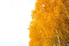 Otoño en el parque de oro Hojas del árbol de abedul amarillo sobre el cielo Fotografía de archivo libre de regalías