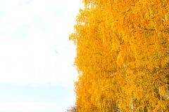 Otoño en el parque de oro Hojas del árbol de abedul amarillo sobre el cielo Foto de archivo