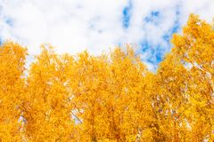 Otoño en el parque de oro Hojas del árbol de abedul amarillo sobre SK azul Foto de archivo libre de regalías