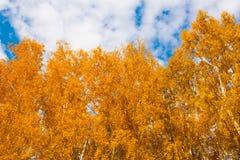Otoño en el parque de oro Hojas del árbol de abedul amarillo sobre SK azul Imágenes de archivo libres de regalías