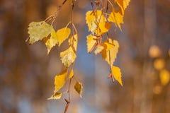 Otoño en el parque: hojas de oro del árbol de abedul en la luz del sol Fotos de archivo libres de regalías