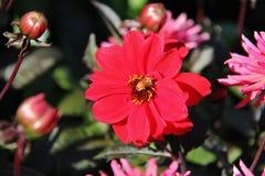 Otoño, flor en el jardín de Butchart, Victoria, isla de Vancouver, británicos Colombia, Canadá Imagen de archivo