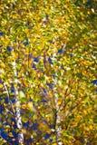 Otoño, fondo borroso bosque de la textura del abedul Fotos de archivo libres de regalías