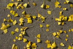 Otoño: hojas amarillas del gingko en el groung Imágenes de archivo libres de regalías