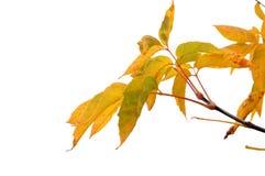 Otoño, hojas del amarillo foto de archivo libre de regalías
