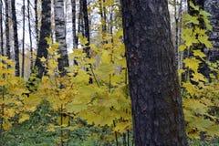 Otoño, naturaleza, cielo nublado del bosque del otoño Hojas de otoño de oro imágenes de archivo libres de regalías