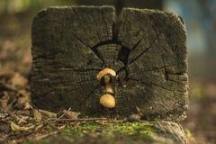 Otoño pequeño Ushrooms Foto de archivo libre de regalías