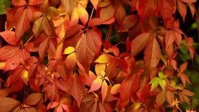 Otoño rojo de las hojas en el movimiento HD 1920x1080 almacen de video