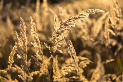 Otoño Seque la hierba salvaje en la luz del sol - fondo de oro fotos de archivo