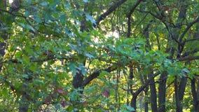 Otoño temprano de los altos arces verdes hermosos almacen de metraje de vídeo